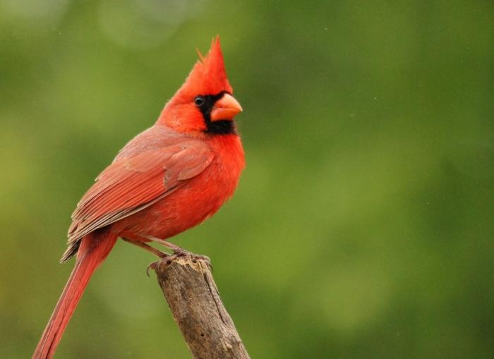 Northern Cardinal (24) (1024x745)