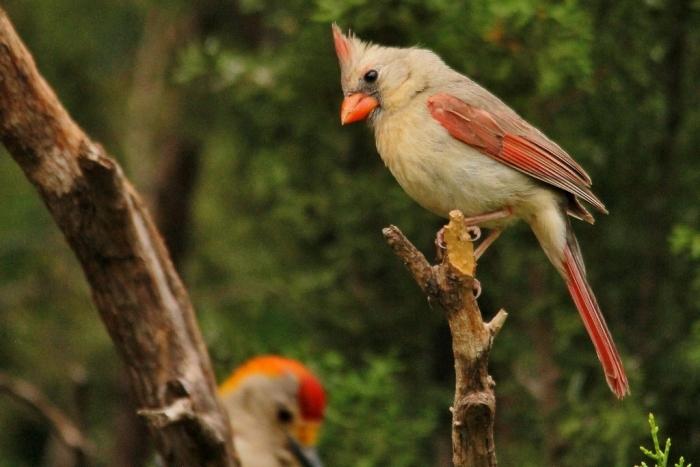 Northern Cardinal (25) (1024x684)