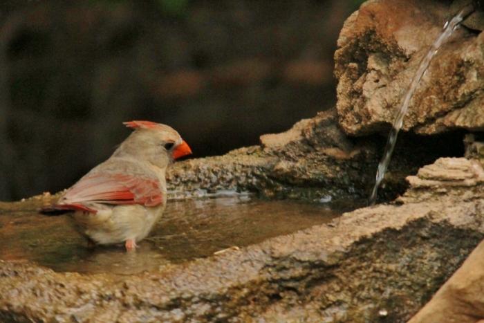 Northern Cardinal (26) (1024x684)