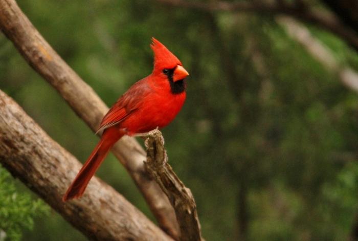 Northern Cardinal (27) (1024x690)