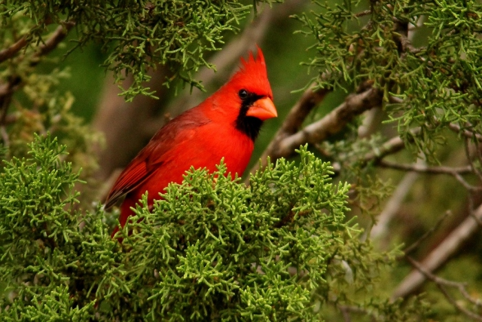 Northern Cardinal (29) (1024x684)
