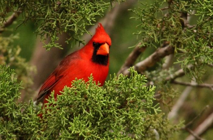 Northern Cardinal (30) (1024x675)