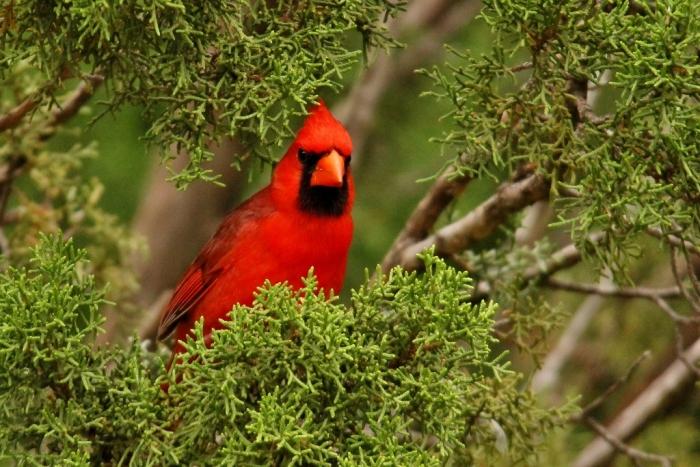 Northern Cardinal (32) (1024x684)