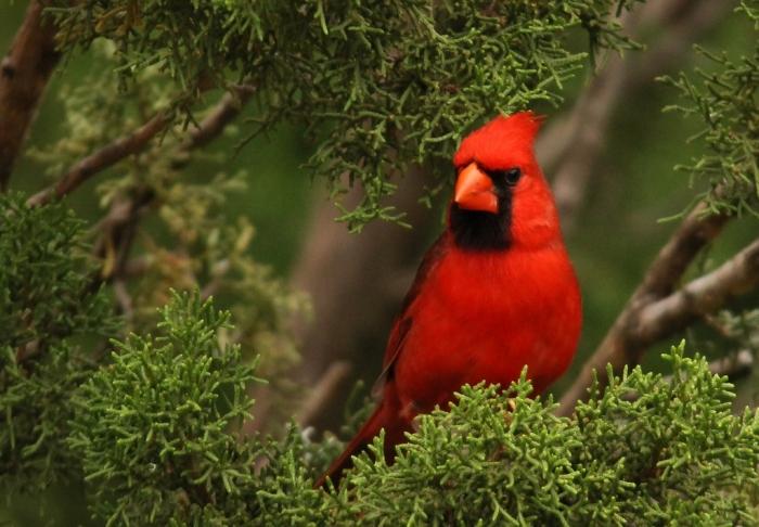 Northern Cardinal (34) (1024x712)
