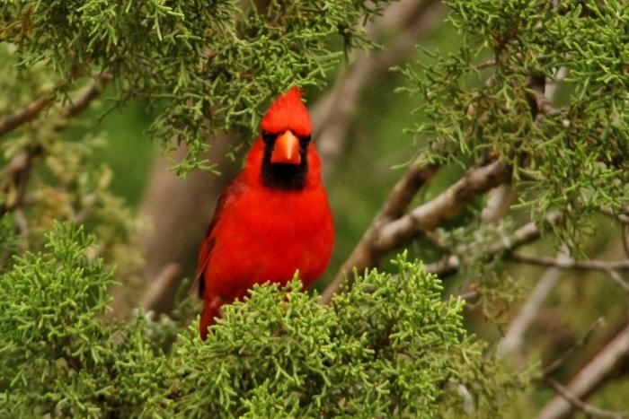 Northern Cardinal (36) (1024x684)