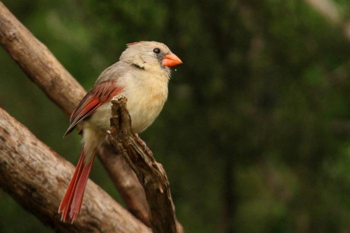 Northern Cardinal (37) (1024x684)