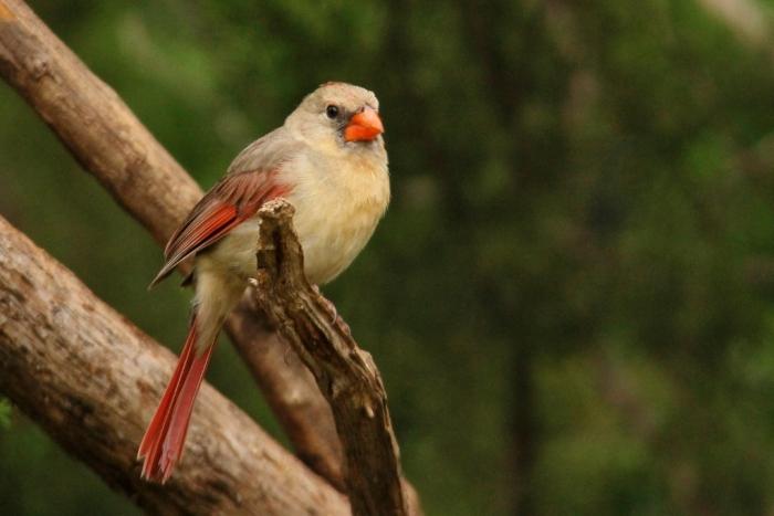 Northern Cardinal (38) (1024x684)