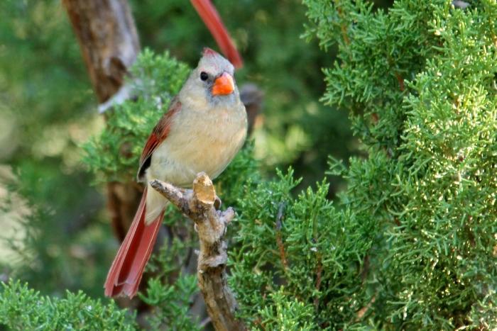 Northern Cardinal (39) (1024x684)