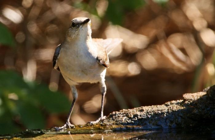 Northern Mockingbird (10) (1024x667)