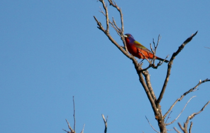 Painted Bunting (2) (1024x650)