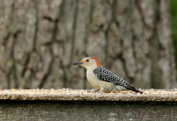 Red-bellied Woodpecker (2) (1024x698)