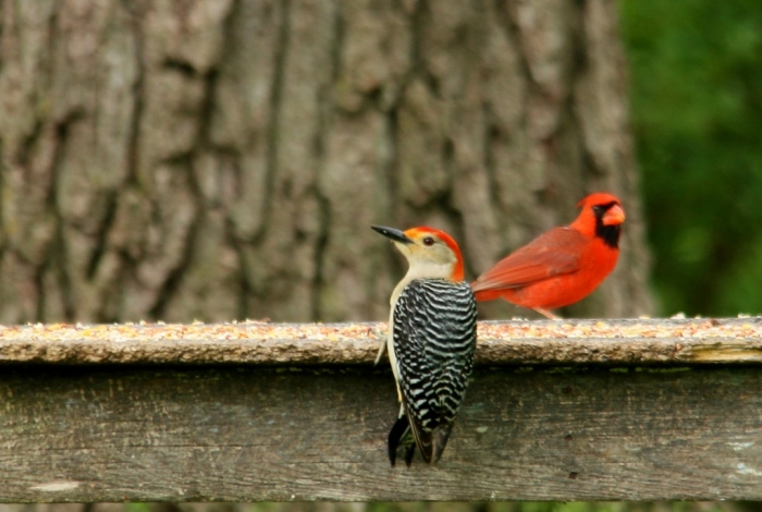 Red-bellied Woodpecker (3) (1024x689)