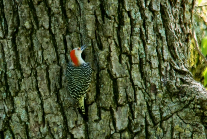 Red-bellied Woodpecker (4) (1024x690)