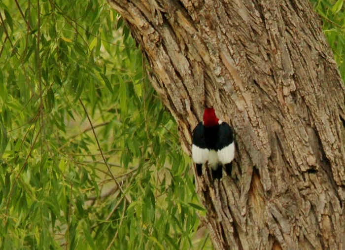 Red-headed Woodpecker (6) (1024x743)