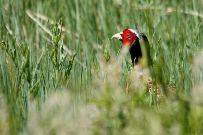 Ring-necked Pheasant (2) (1024x684)
