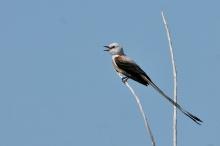 Scissor-tailed Flycatcher (5) (1024x682)