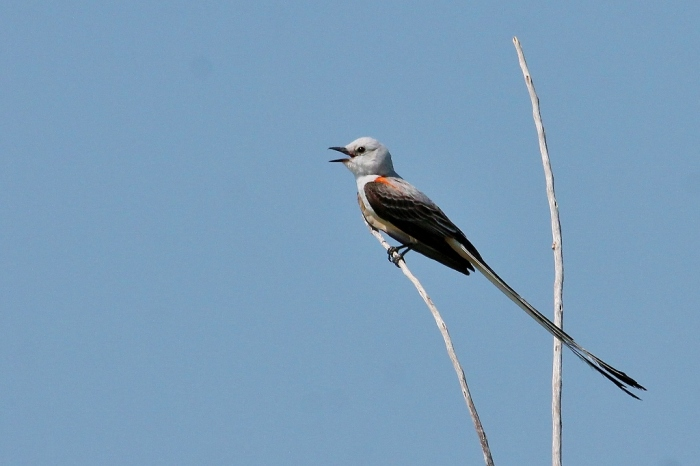 Scissor-tailed Flycatcher (5) (1024x682)