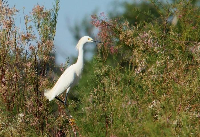 Snowy Egret (10) (1024x700)