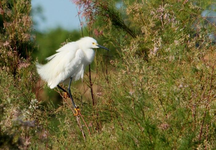 Snowy Egret (12) (1024x714)