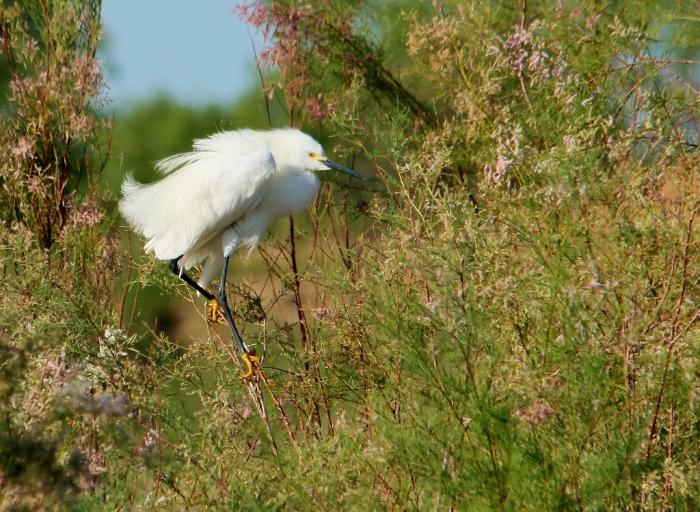 Snowy Egret (13) (1024x750)