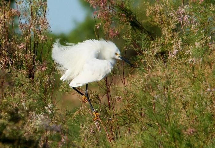 Snowy Egret (15) (1024x707)