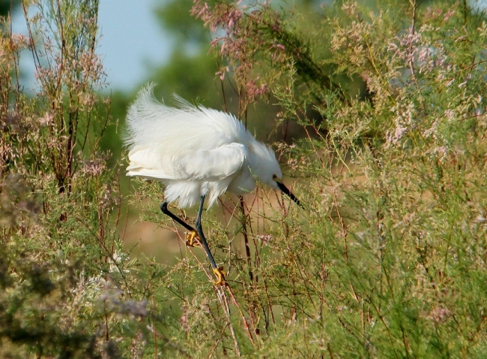 Snowy Egret (16) (1024x756)