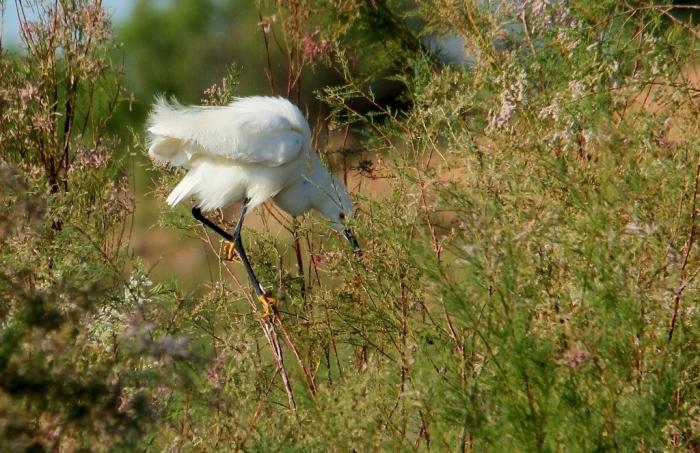 Snowy Egret (18) (1024x663)