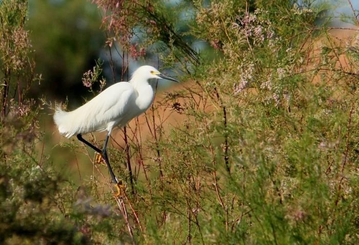 Snowy Egret (19) (1024x700)