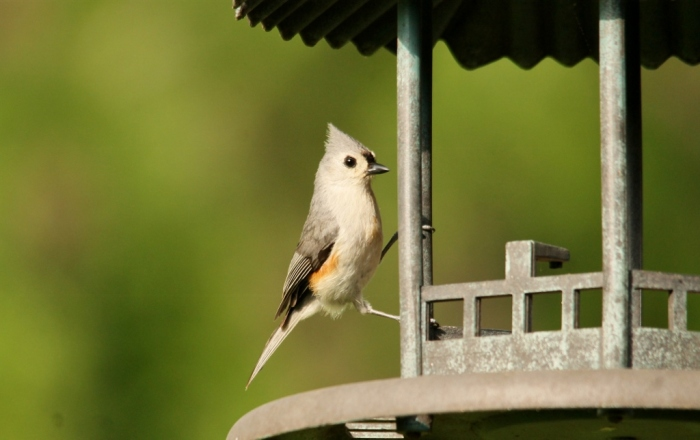 Tufted Titmouse (1024x645)