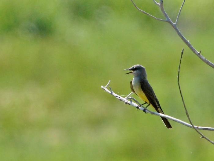 Western Kingbird (12) (1024x770)
