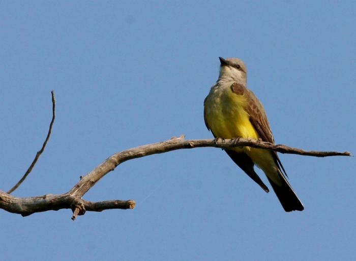Western Kingbird (8) (1024x754)