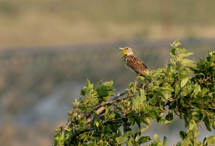 Western Meadowlark (10) (1024x700)