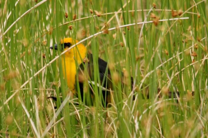 Yellow-headed Blackbird (7) (1024x684)