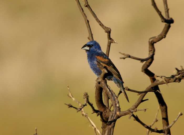Blue Grosbeak (5)