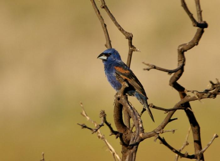 Blue Grosbeak (5)