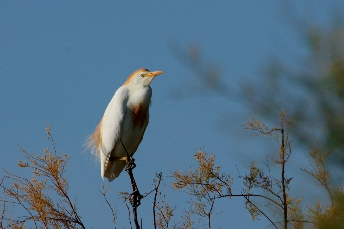 Cattle Egret (36) (1024x684)