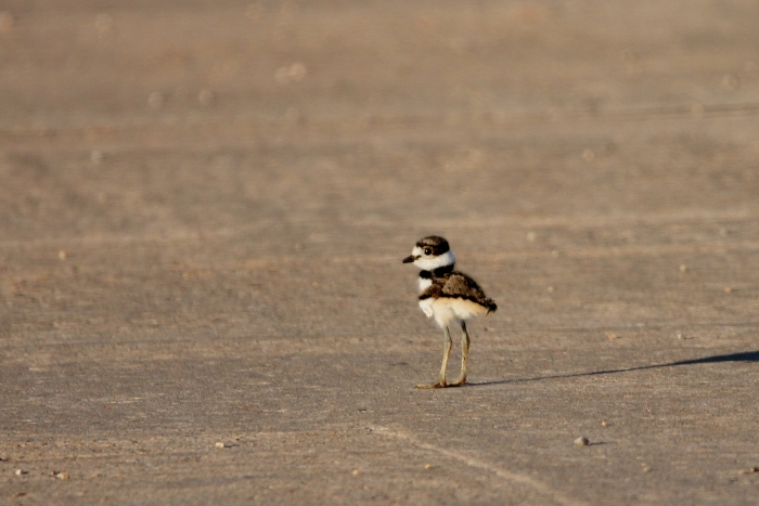 Killdeer (14)