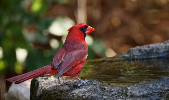 Northern Cardinal (40) (1024x607)
