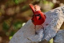 Northern Cardinal (46) (1024x684)