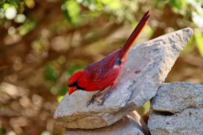 Northern Cardinal (48) (1024x683)