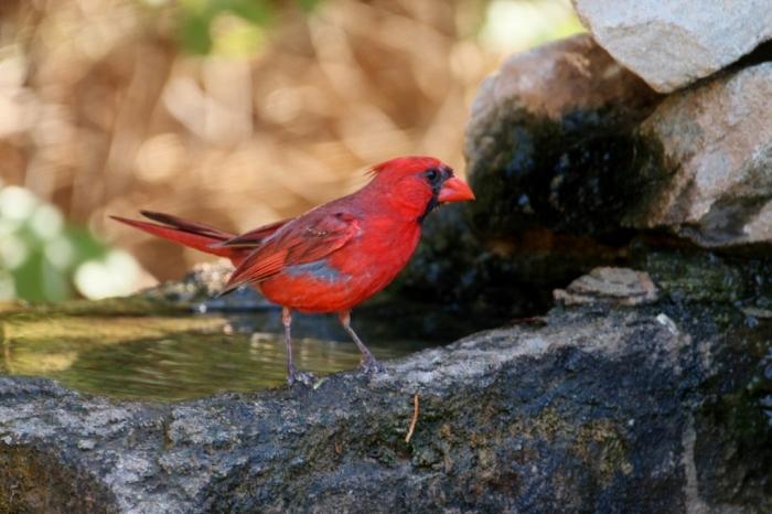 Northern Cardinal (49) (1024x683)