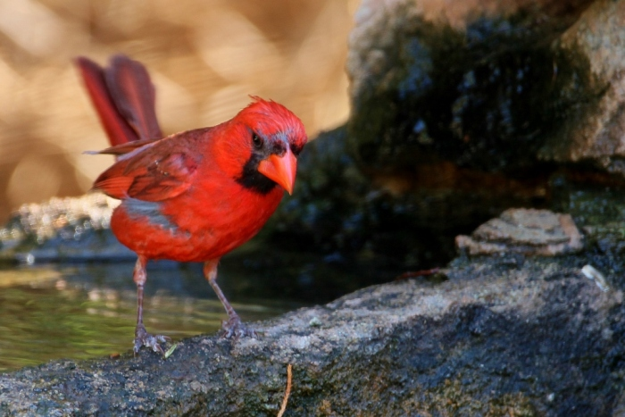 Northern Cardinal (50) (1024x684)