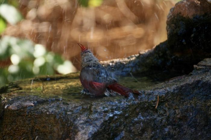Northern Cardinal (57) (1024x683)