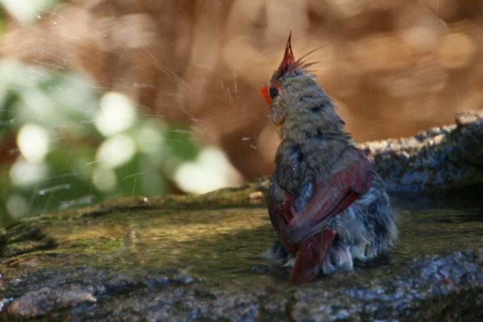 Northern Cardinal (59) (1024x684)