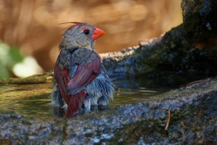 Northern Cardinal (61) (1024x684)