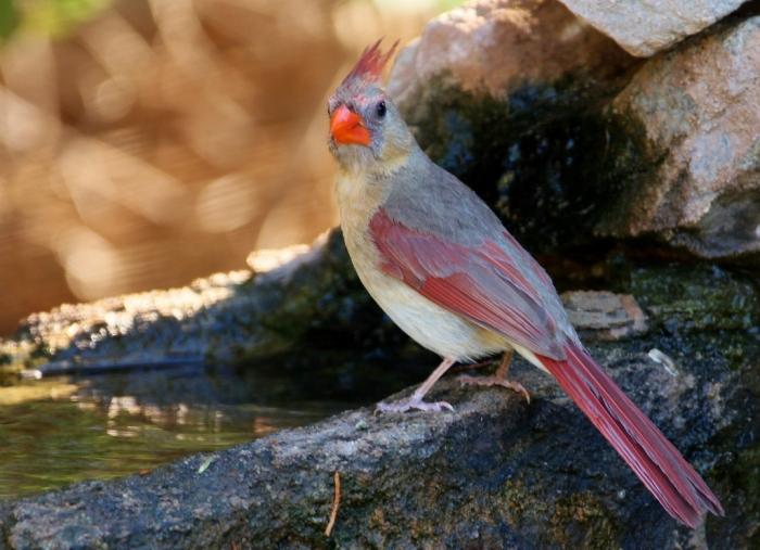 Northern Cardinal (65) (1024x743)