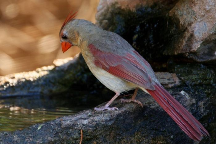 Northern Cardinal (67) (1024x684)