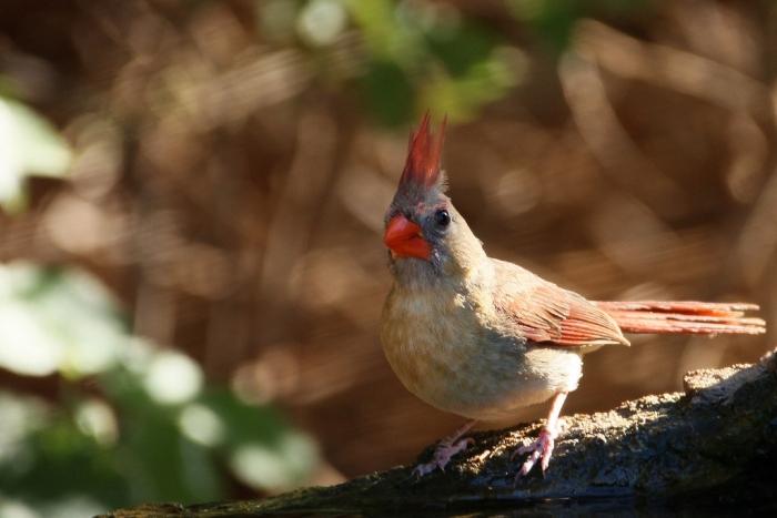 Northern Cardinal (68) (1024x684)