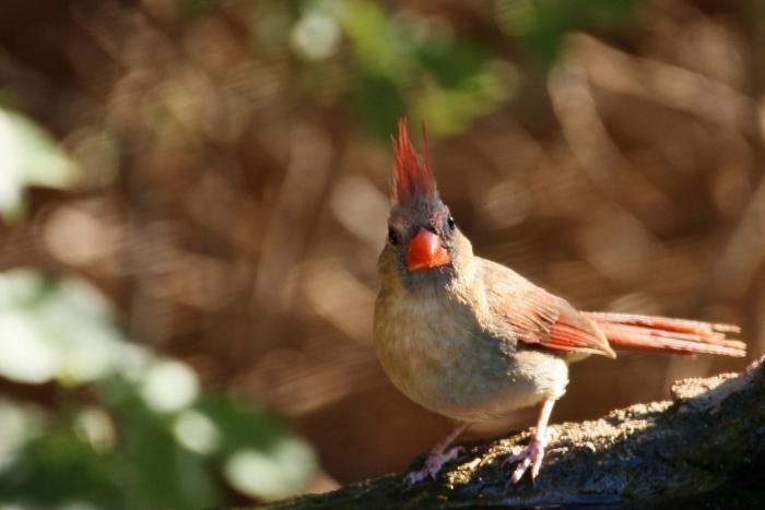 Northern Cardinal (69) (1024x684)