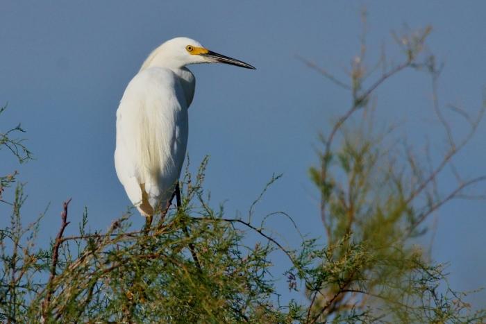 Snowy Egret (28) (1024x684)